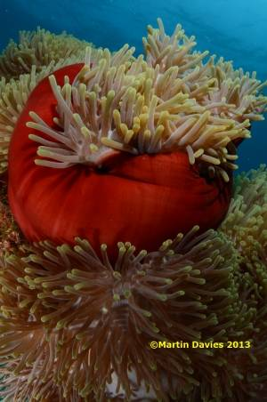 Red-Sea-Adamantia-K-20062012-©Martin-Davies-076