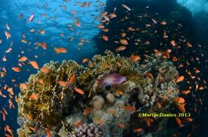 Red-Sea-Shaab-Sharm-24042012-©Martin-Davies-032